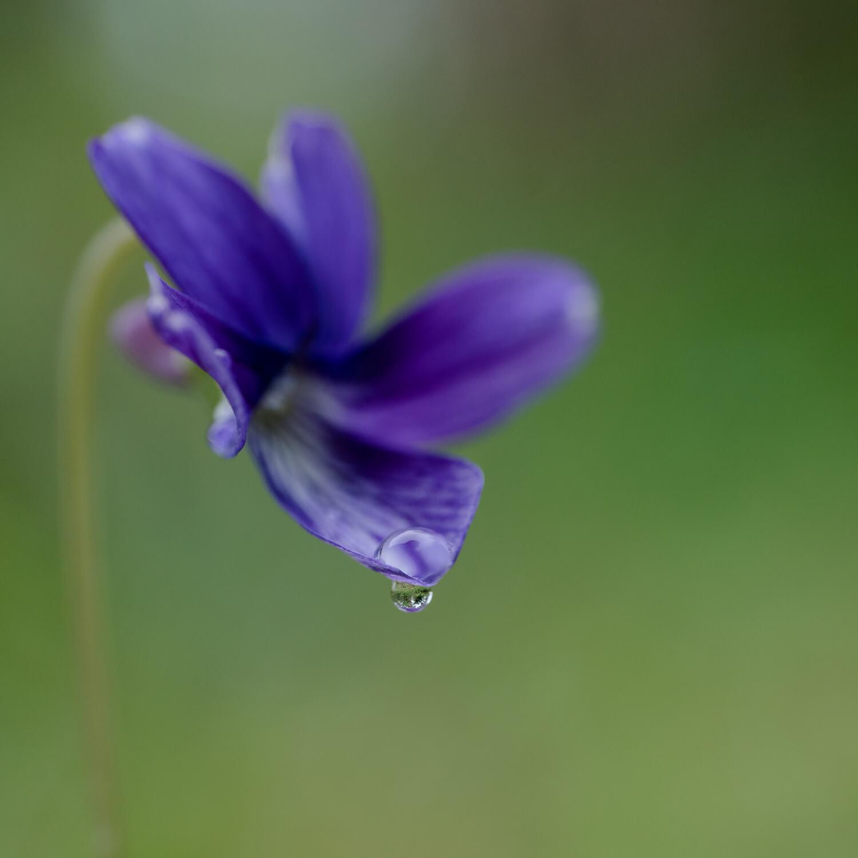 屋久島の花、雨のしずく 屋久島雨とジュエリー オーダーメイドマリッジリングのモチーフ