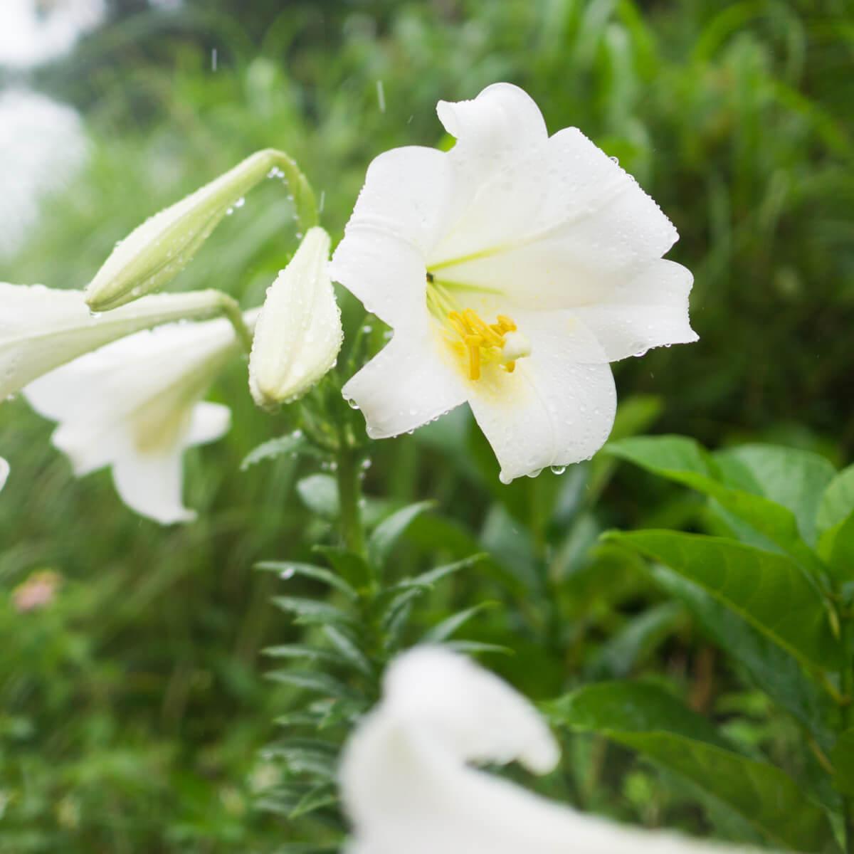 屋久島の百合 雨 屋久島花とジュエリーと オーダーメイドジュエリーのモチーフ
