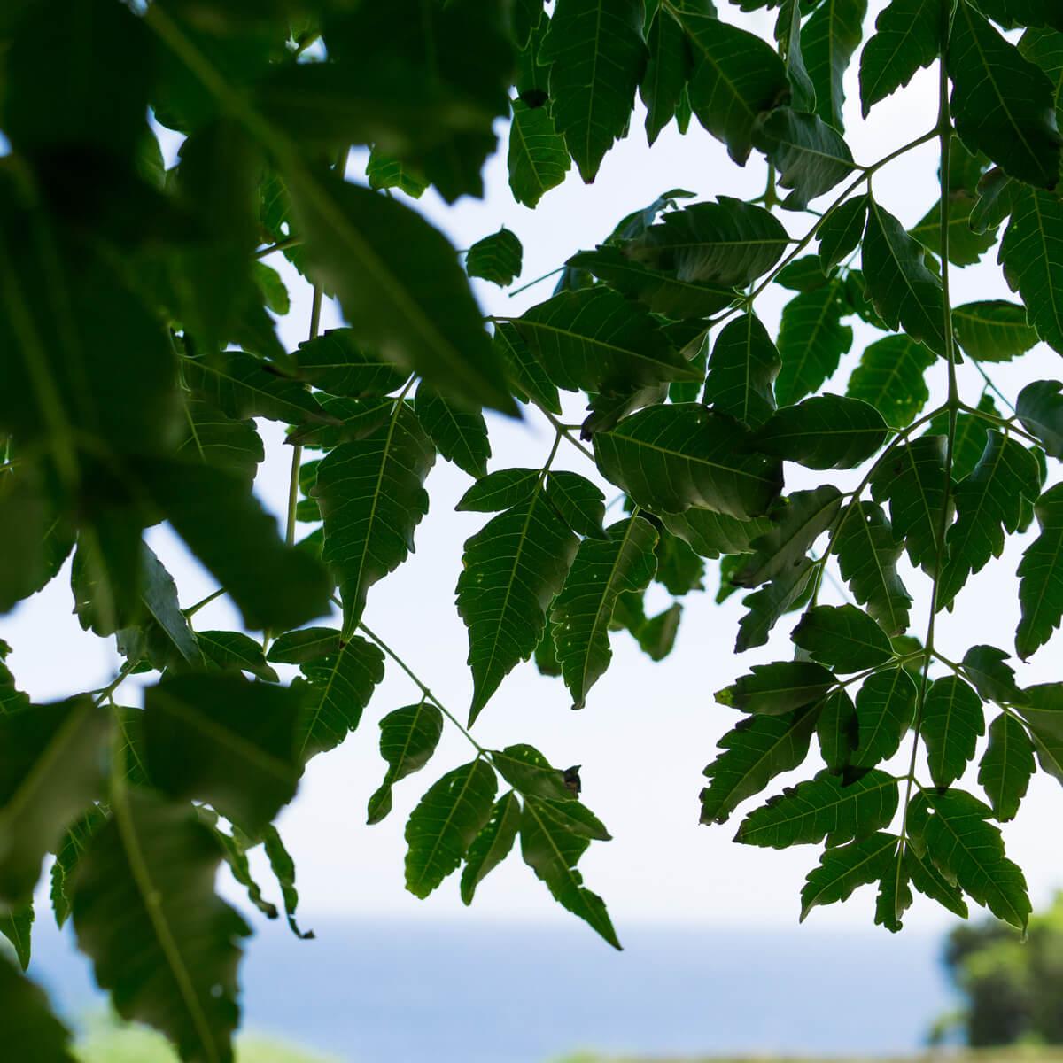葉っぱ越しに海 屋久島日々の暮らしとジュエリー オーダーメイドマリッジリングのモチーフ