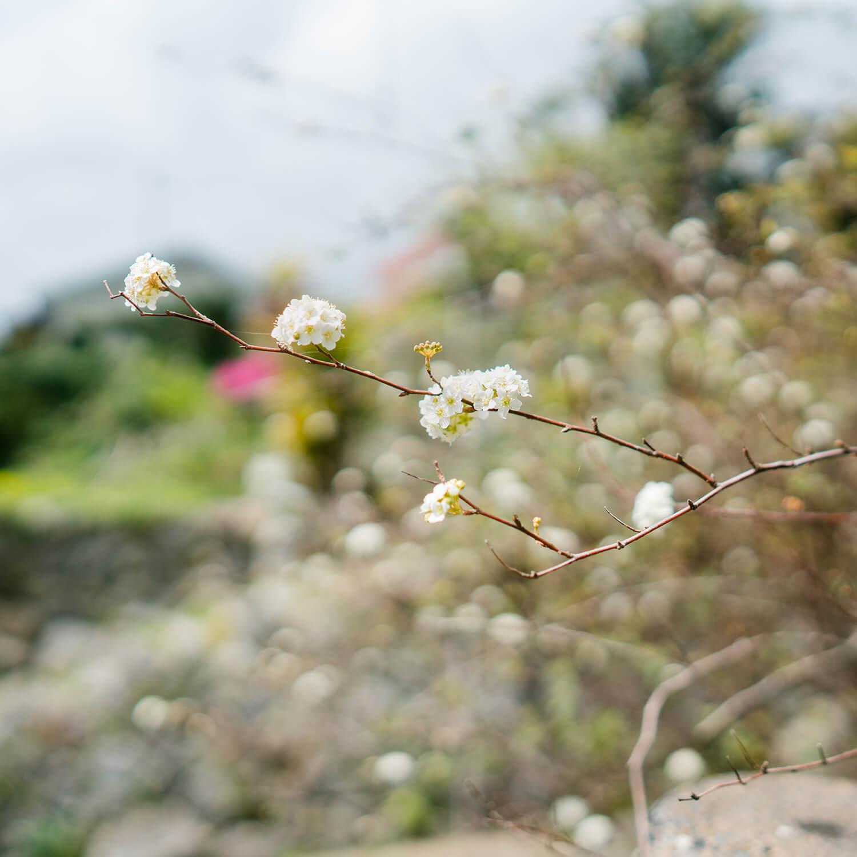屋久島のコデマリ 屋久島しずくギャラリーの庭 屋久島花とジュエリー 屋久島でオーダーメイドジュエリーのモチーフ