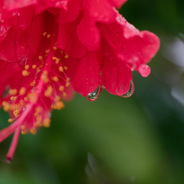 雨のしずく、花2 屋久島雨とジュエリー オーダーメイドマリッジリングのインスピレーション 屋久島でつくる結婚指輪