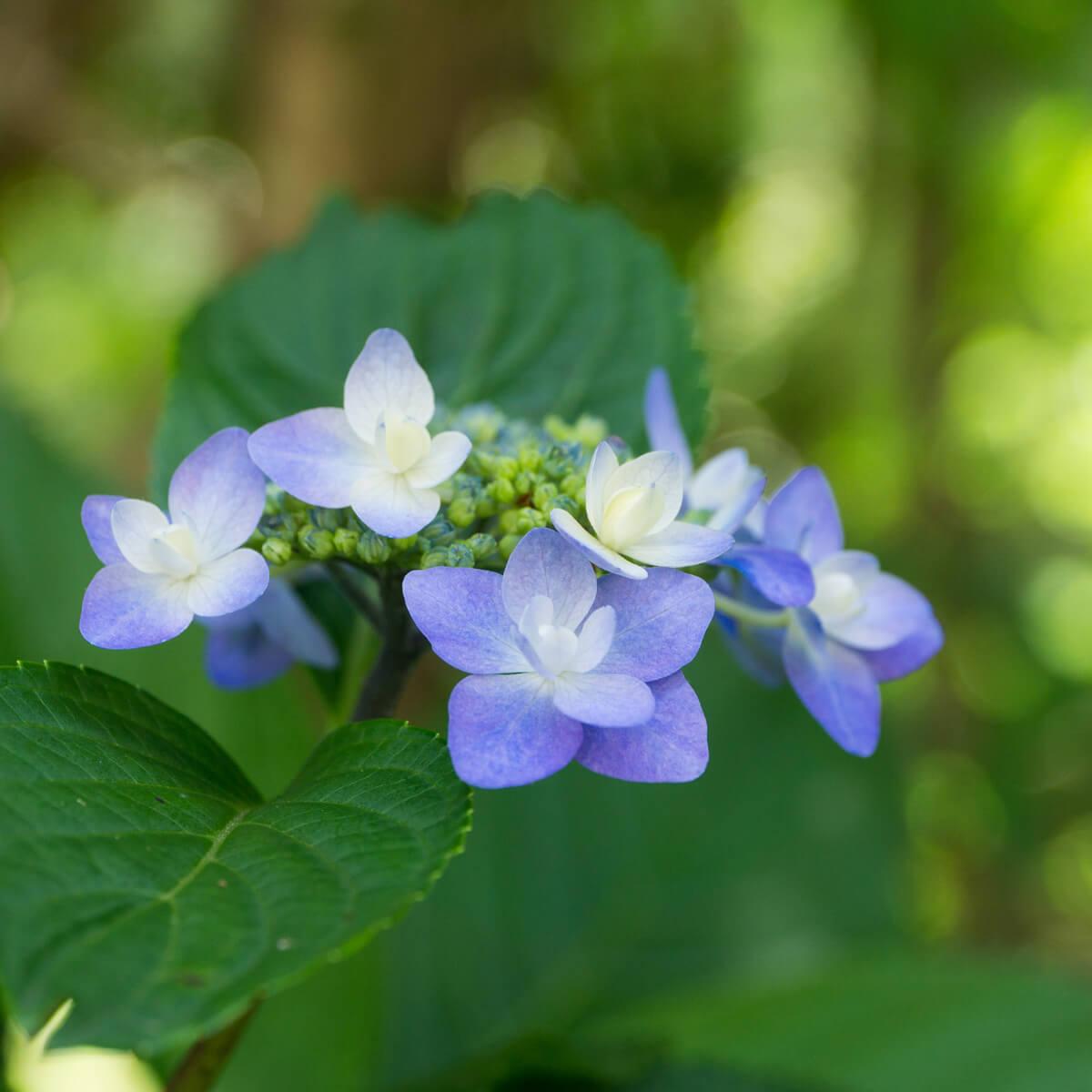 屋久島の紫陽花 屋久島花とジュエリー オーダーメイドジュエリーのモチーフ