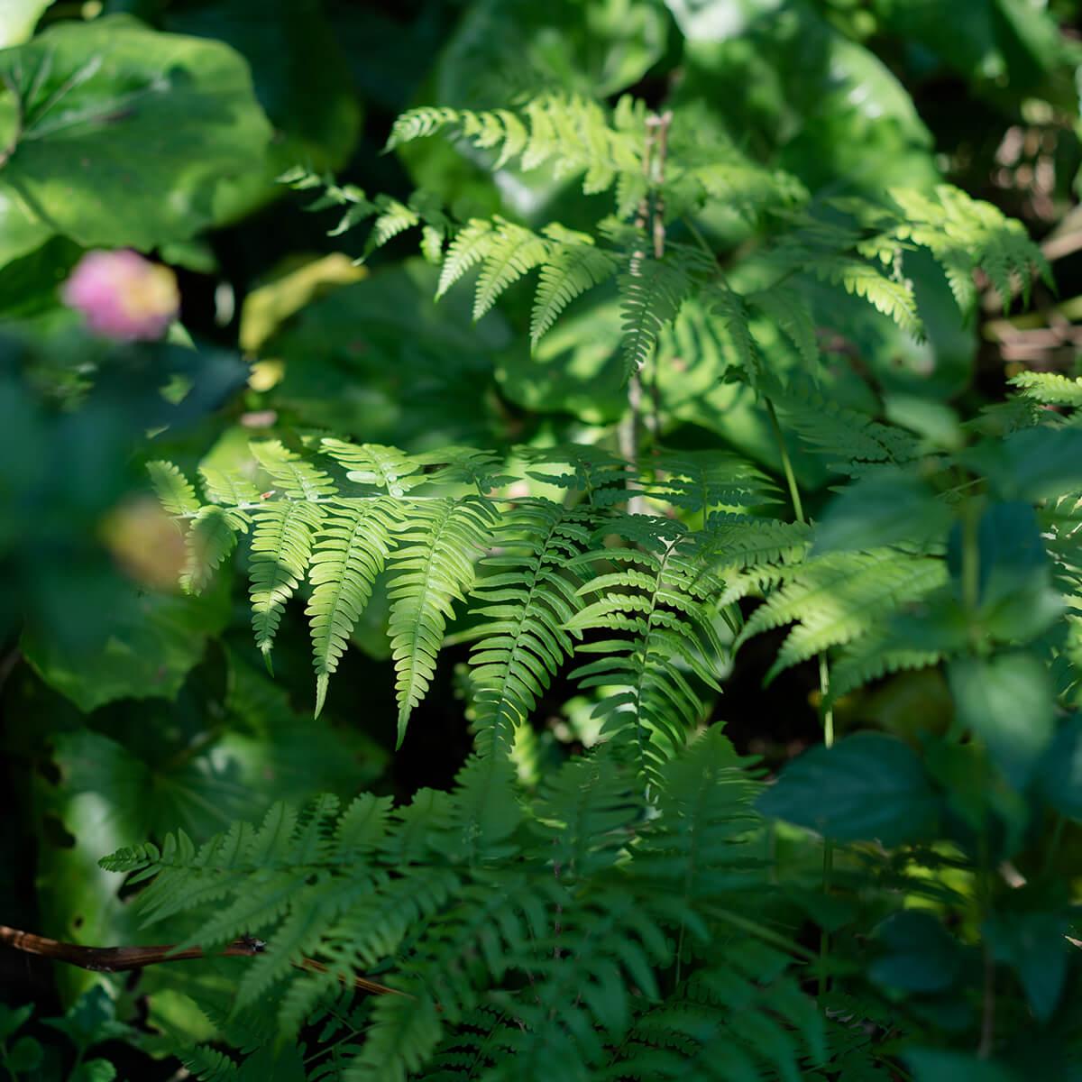 屋久島のシダ 屋久島の自然と暮らし オーダーメイドマリッジリングのアトリエ