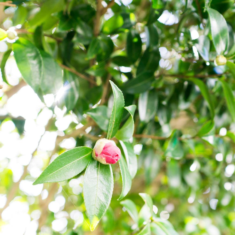 屋久島の山茶花 木漏れ日