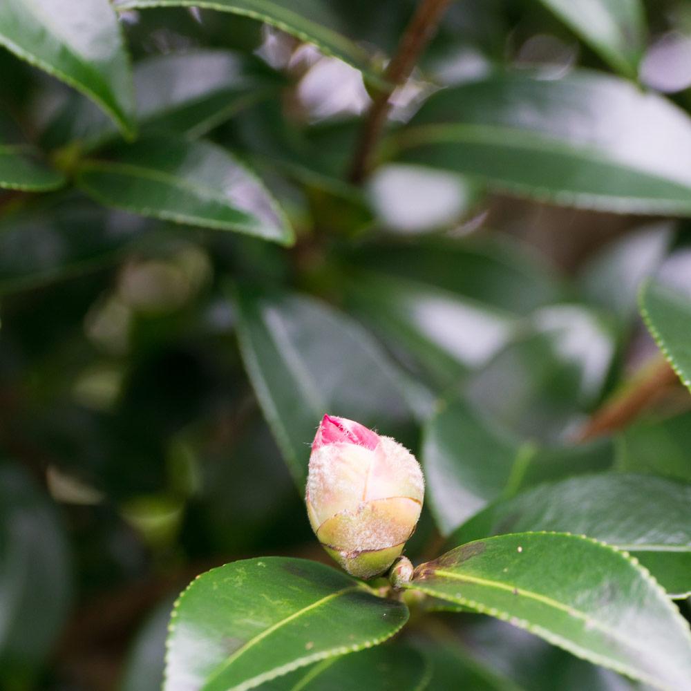 屋久島 山茶花の蕾 ジュエリーと花