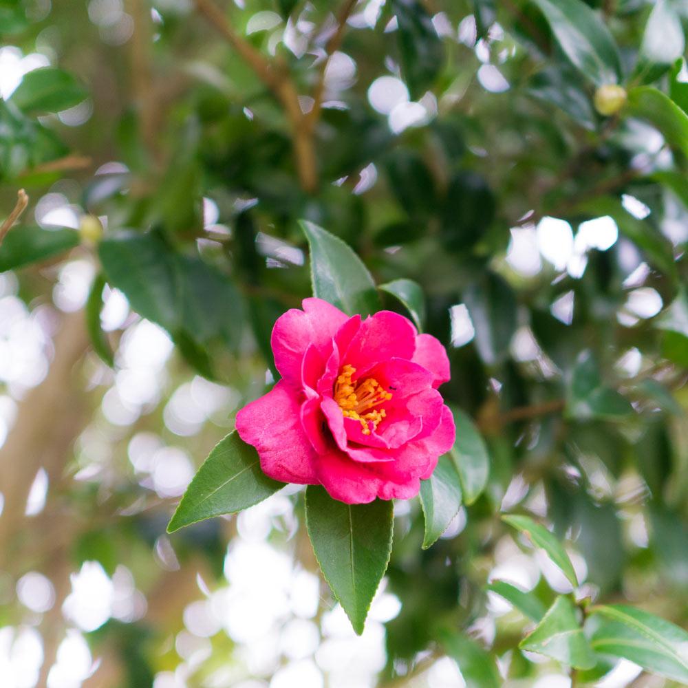 屋久島の山茶花