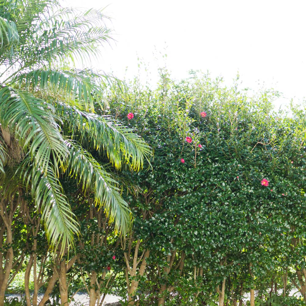 アトリエの庭 山茶花の生垣 屋久島でジュエリーライフ