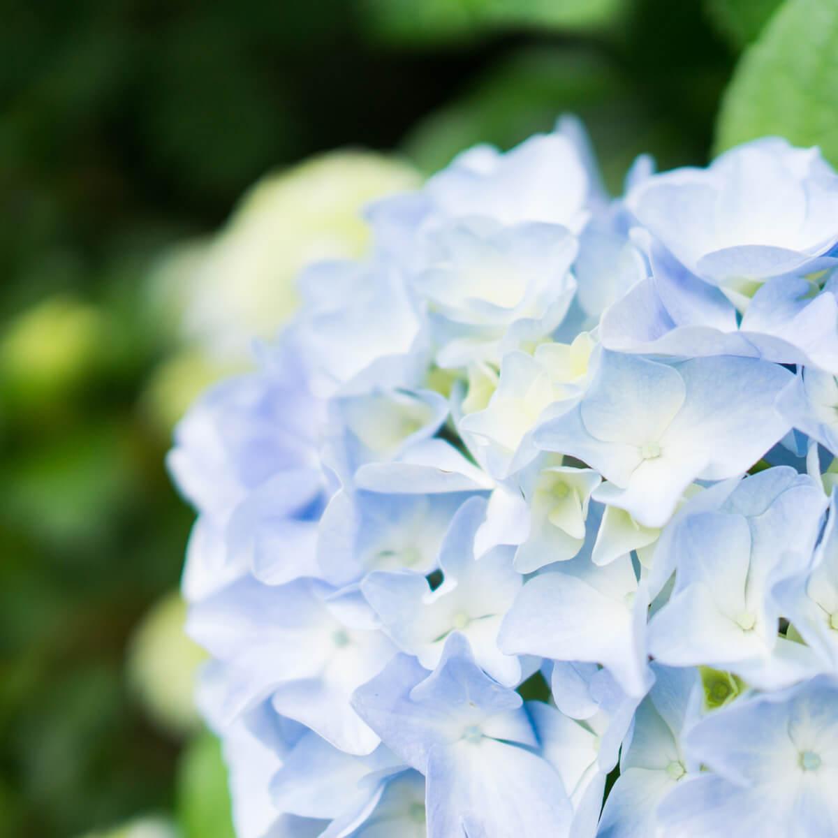 屋久島の紫陽花 屋久島花とジュエリー オーダーメイドマリッジリングのモチーフ