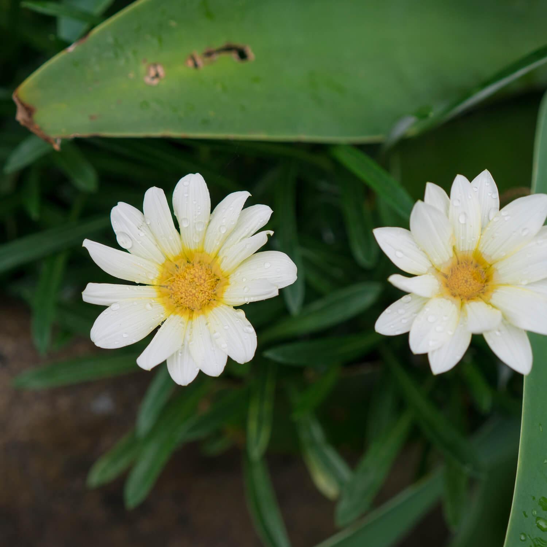 屋久島の花、雨 屋久島花とジェリー   オーダーメイドマリッジリングのモチーフ 屋久島でつくる結婚指輪