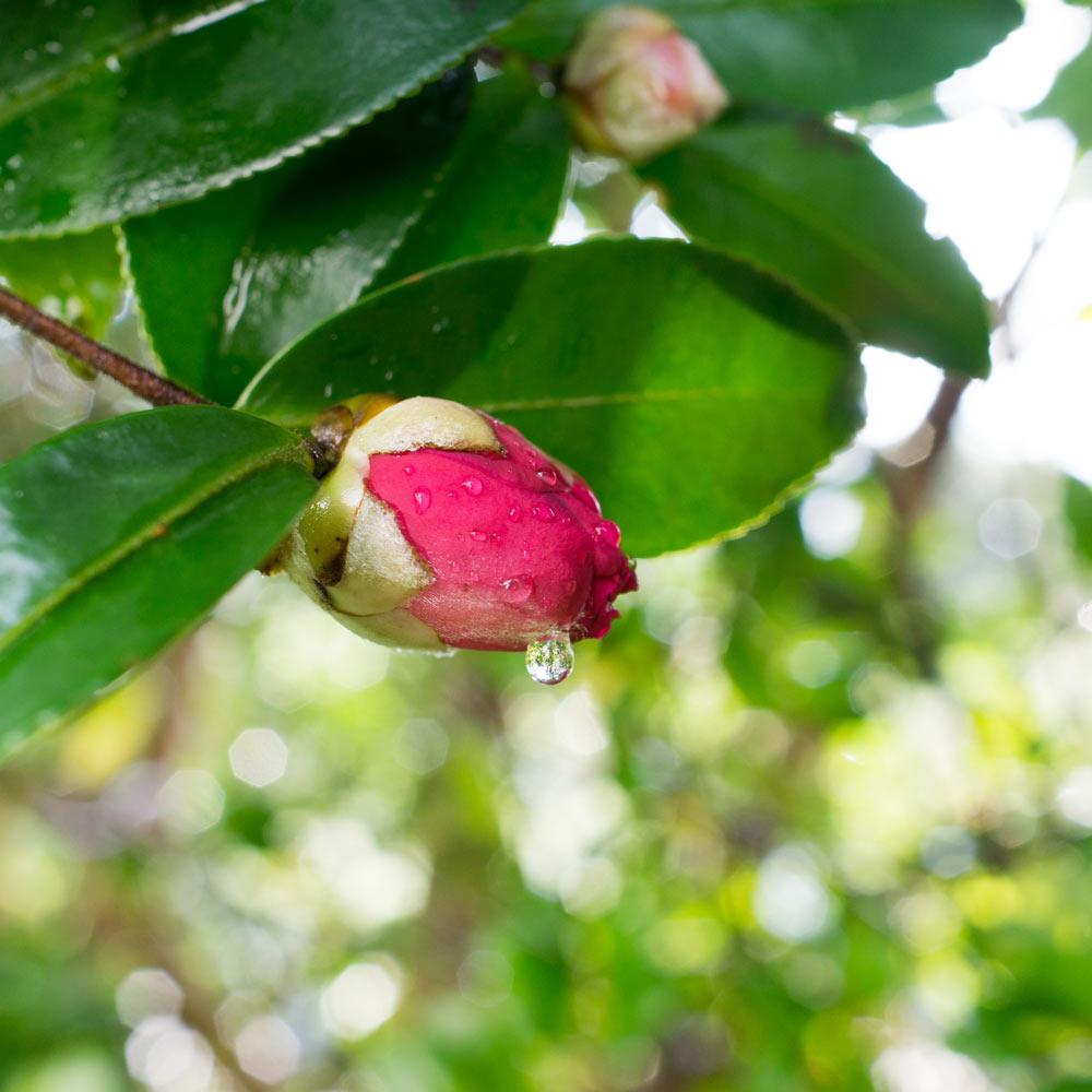 屋久島の山茶花 雨の雫