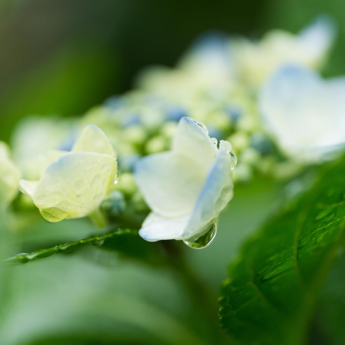屋久島の紫陽花、雨のしずく 屋久島花とジュエリー ハンドメイドジュエリーのモチーフ