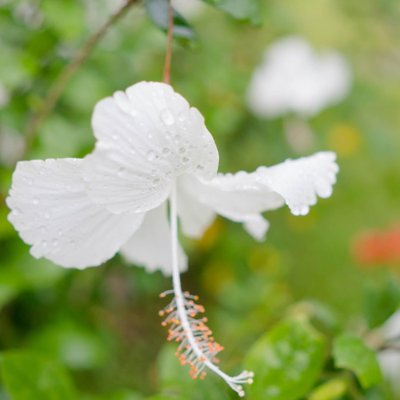 白いハイビスカス、雨 屋久島雨とジュエリー 屋久島しずくギャラリーの庭 屋久島花とジュエリー