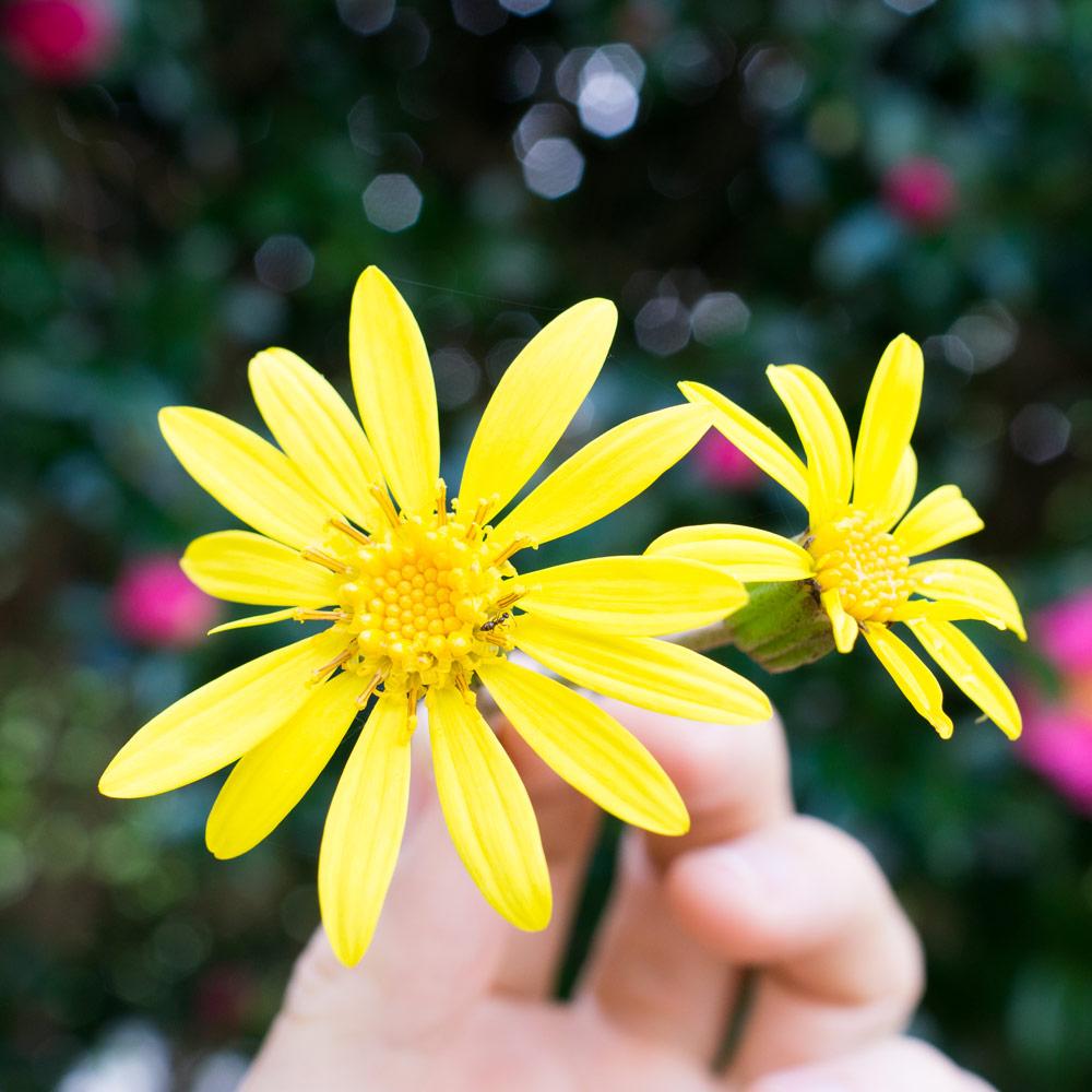 屋久島 ツワブキの花 オーダーメイドマリッジリングのモチーフ 屋久島でつくる結婚指輪