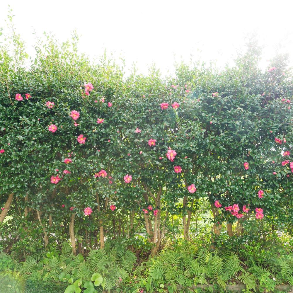 屋久島の山茶花 ジュエリーのアトリエ