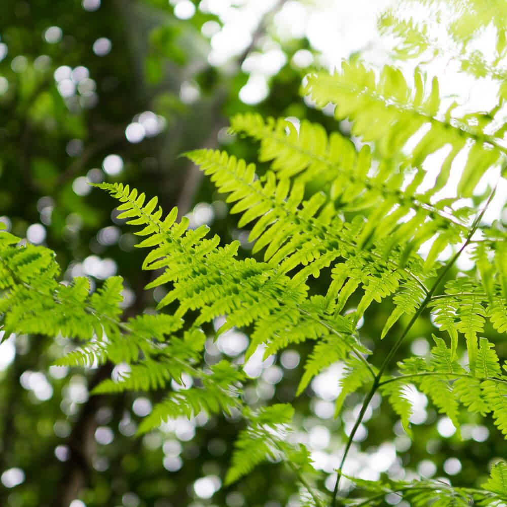 シダを見上げる構図 屋久島の森木漏れ日 オーダーメイドマリッジリングのモチーフ