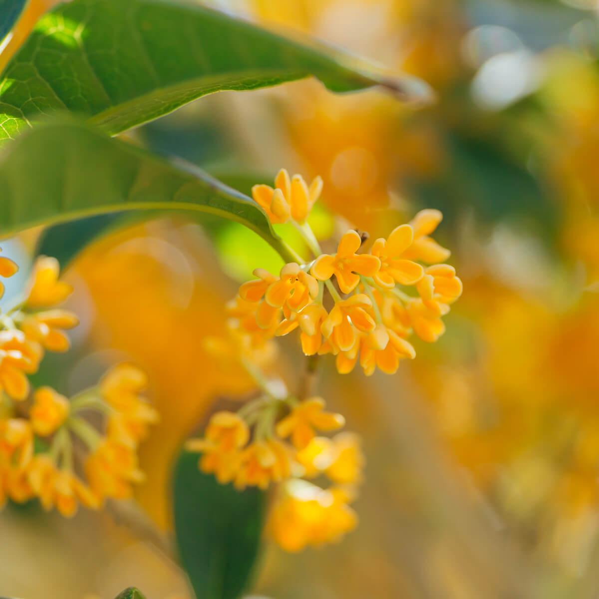 金木犀の花 クローズアップ 屋久島花とジュエリー オーダーメイドジュエリーのモチーフ