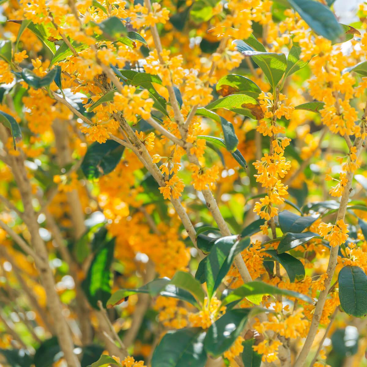 金木犀 花満開 屋久島花とジュエリー オーダーメイドジュエリーのモチーフ