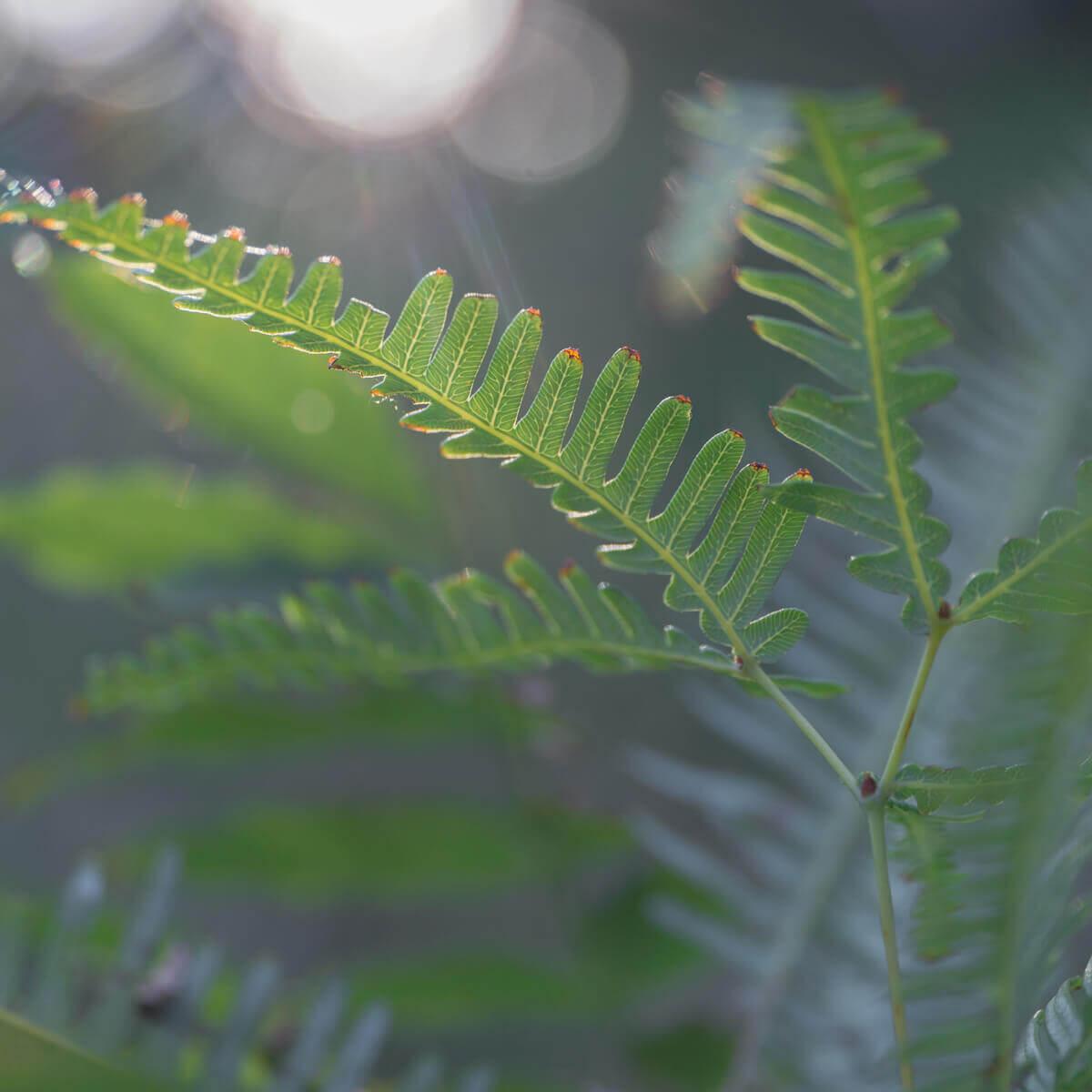 屋久島シダの葉っぱ 夕暮れ時 屋久島日々の暮らしとジュエリー オーダーメイドマリッジリングのインスピレーション