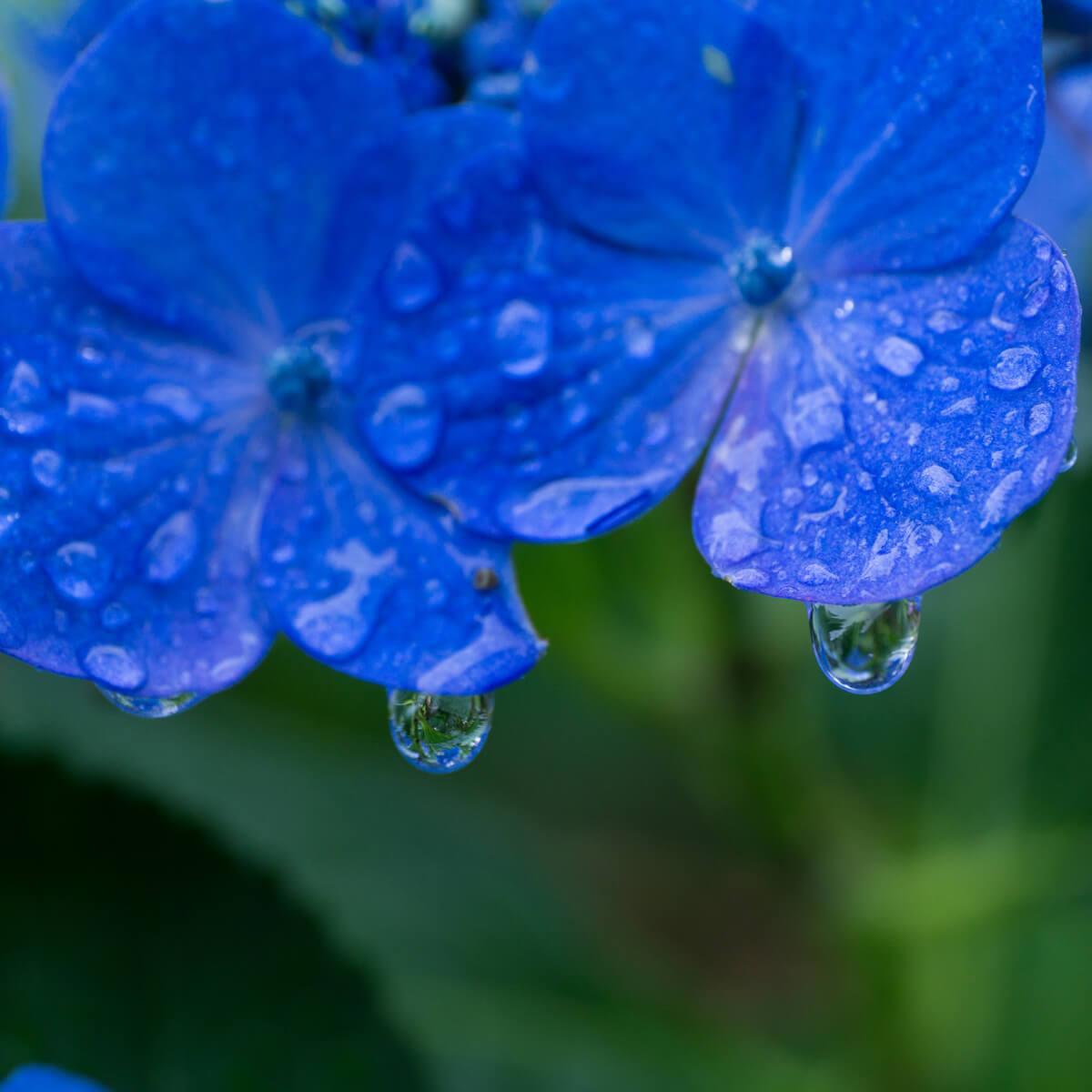 屋久島の紫陽花、雨のしずく 屋久島日々の暮らしとジュエリー オーダーメイドマリッジリングのモチーフ