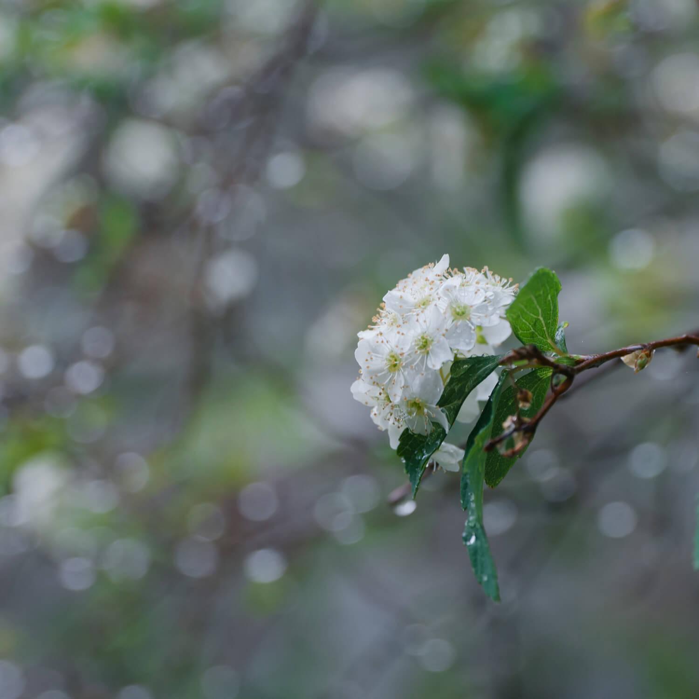 屋久島のコデマリ 屋久島花とジュエリー オーダーメイドマリッジリングのインスピレーション