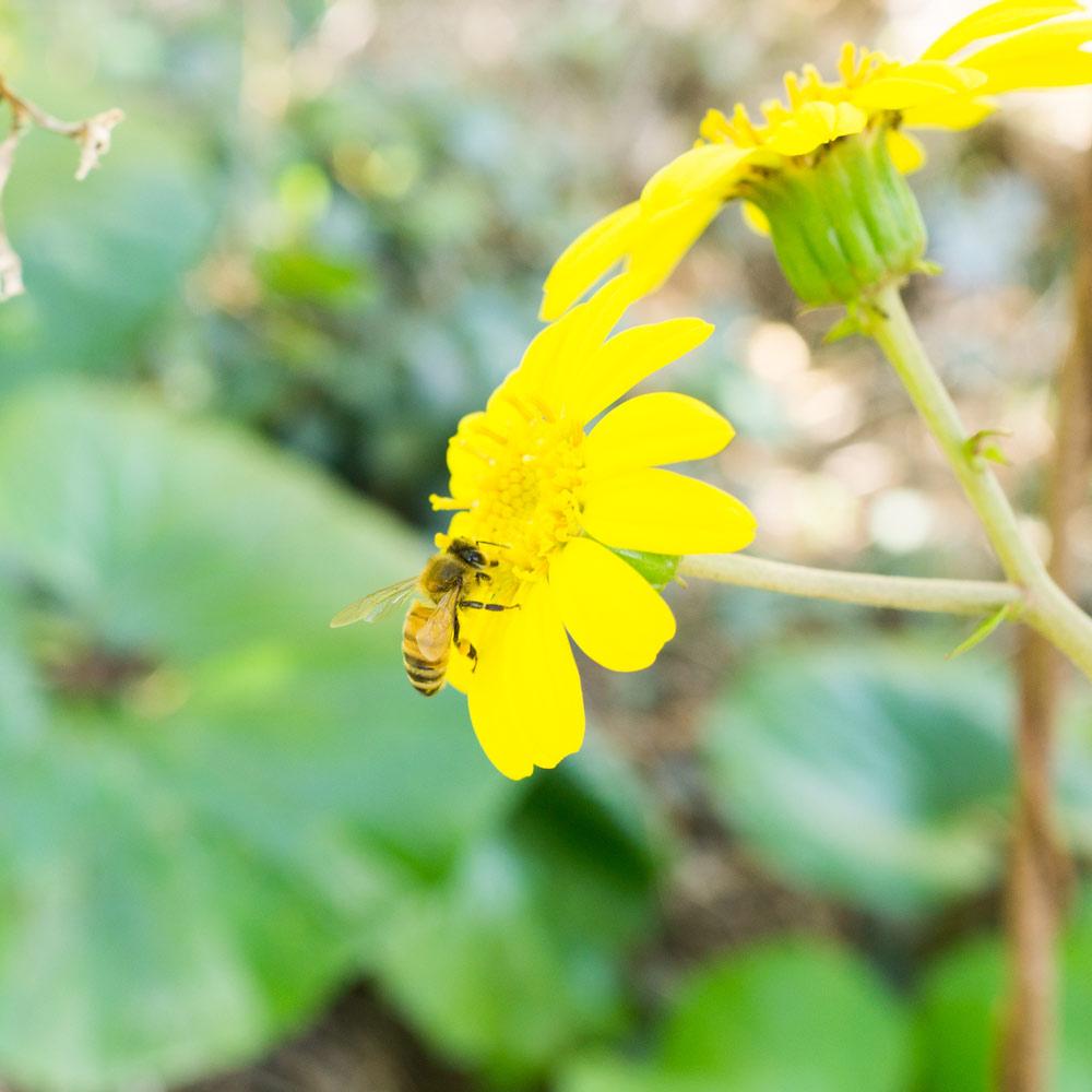 屋久島のツワブキにミツバチ ハッピージュエリー、屋久島