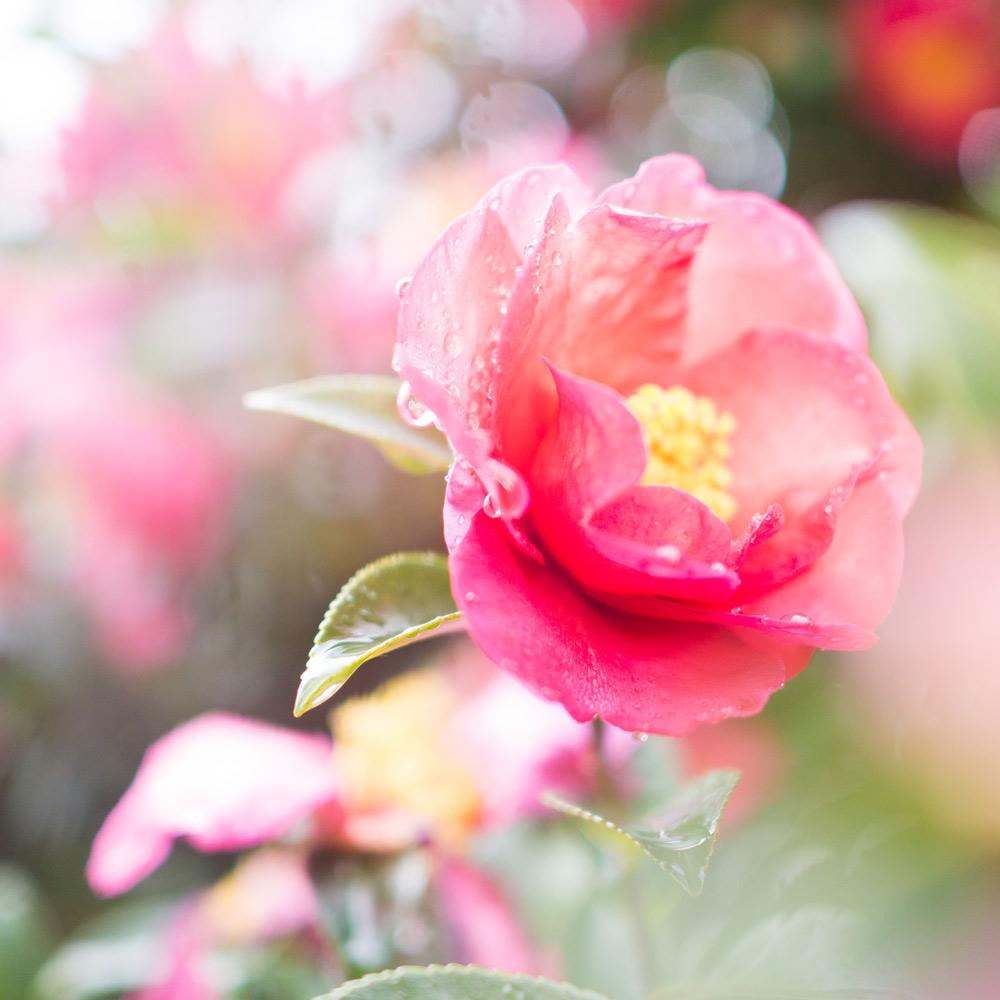 屋久島の山茶花、雨の雫