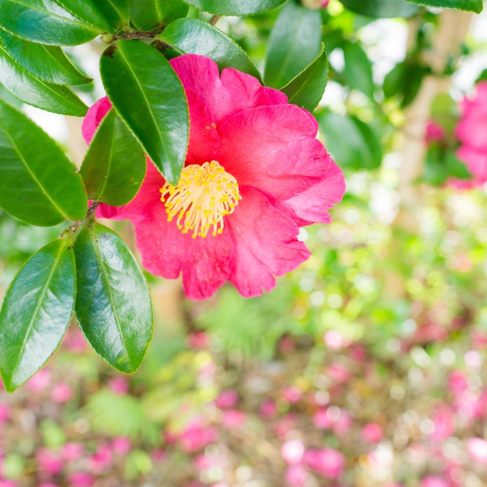 屋久島の山茶花 オーダーメイドジュエリーのモチーフ