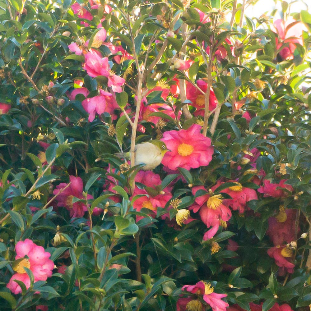 山茶花にメジロ 屋久島日々の暮らしとジュエリー