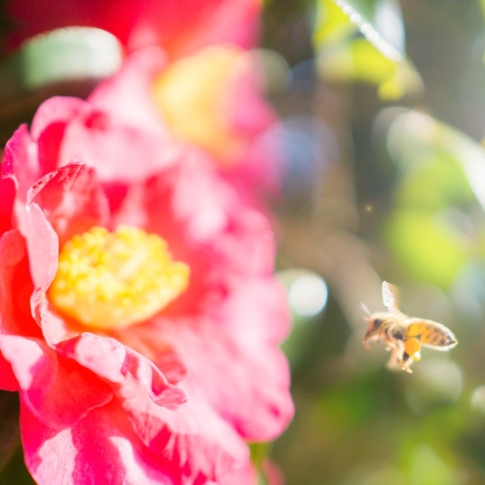 屋久島の山茶花 正月 ミツバチ オーダーメイドジュエリーのモチーフ