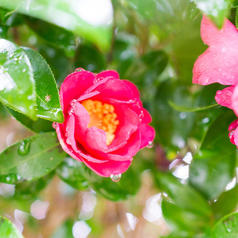 雨の雫 ジュエリーのアトリエ 山茶花 屋久島花とジュエリー
