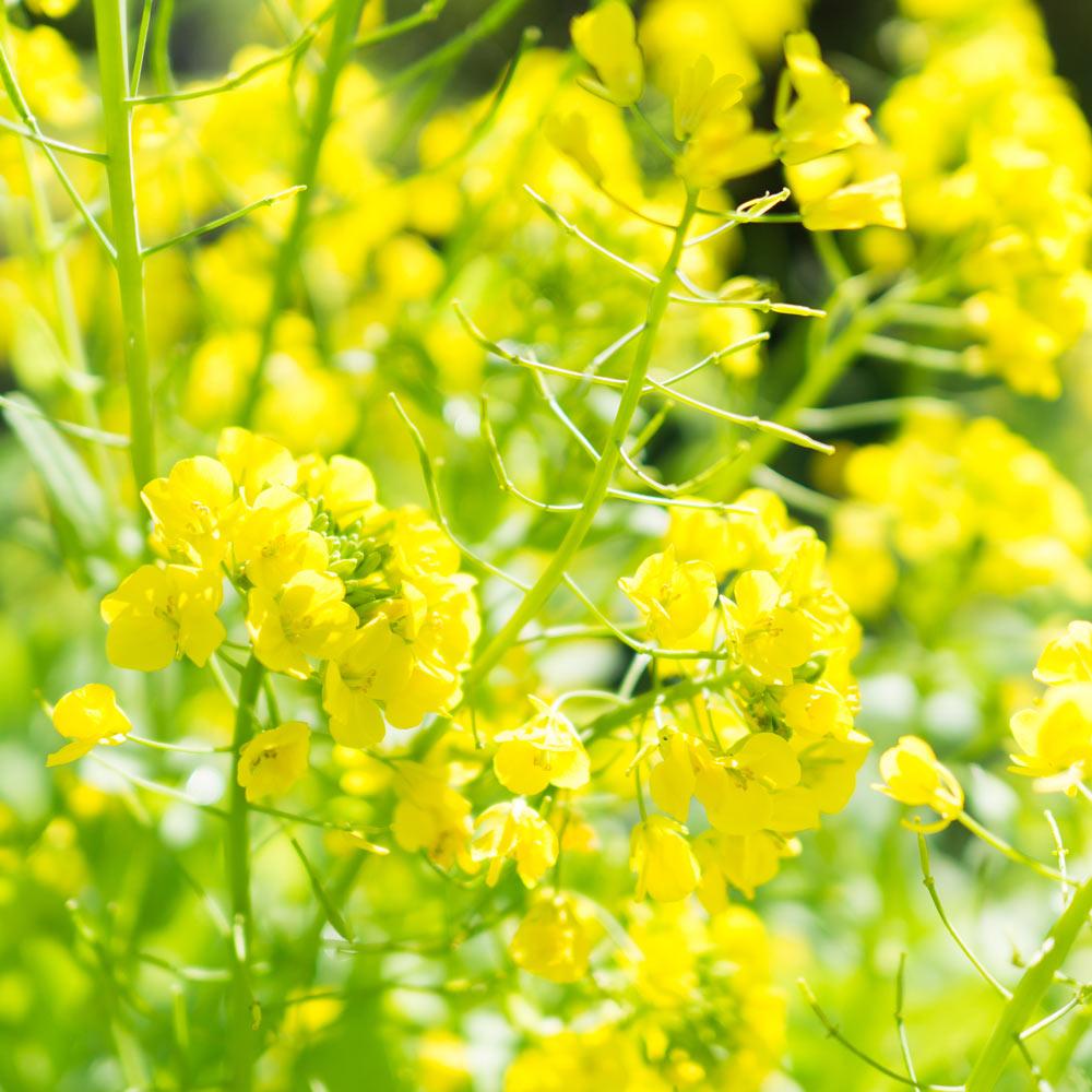 屋久島の菜の花 屋久島花とジュエリー オーダーメイドジュエリーのモチーフ