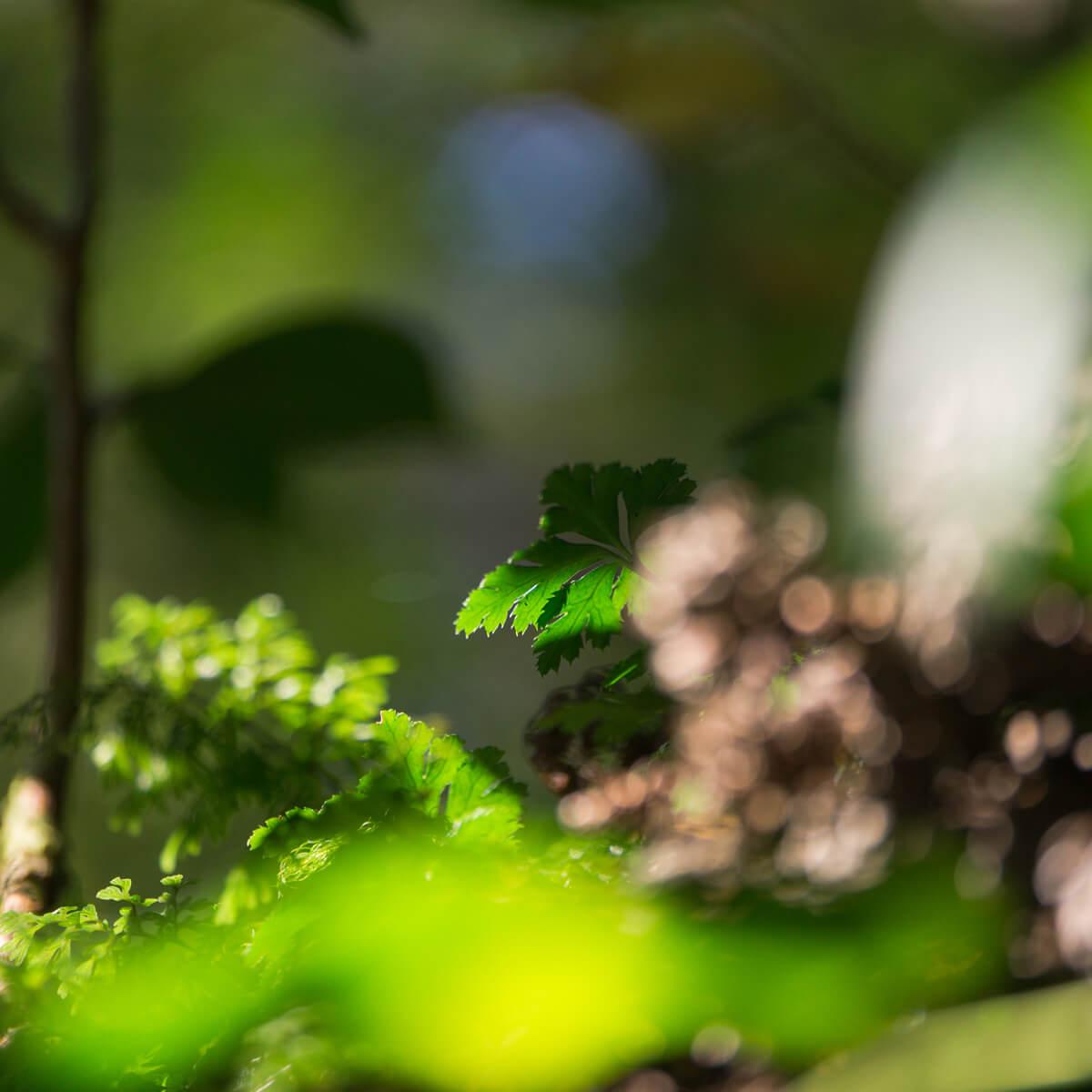緑の若葉 屋久島 白谷雲水峡 屋久島森とジュエリー オーダーメイドジュエリーのインスピレーション