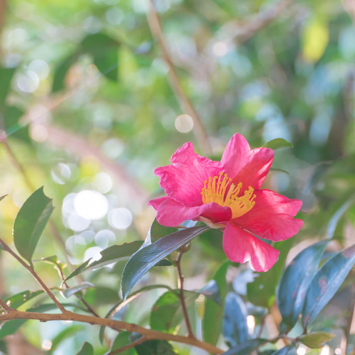 屋久島の山茶花 屋久島花とジュエリー 木漏れ日の中 オーダーメイドマリッジリングのモチーフ