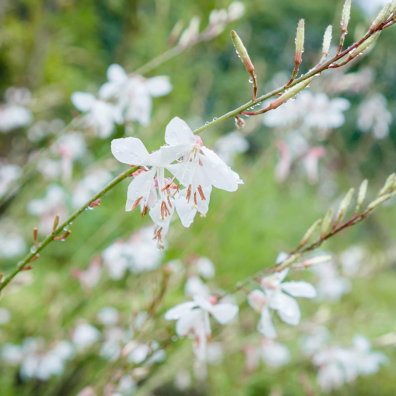 屋久島しずくギャラリーの庭 屋久島の花、雨のしずく オーダーメイドジュエリーのモチーフ