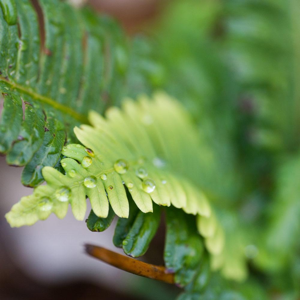 シダの葉に雨の雫 屋久島の雨 オーダーメイドジュエリーのモチーフ