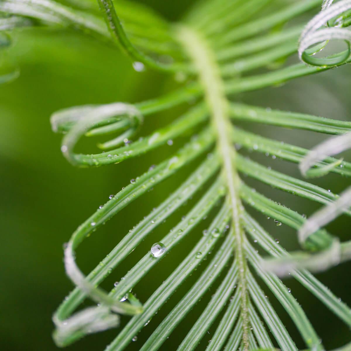 屋久島のソテツ 雨のしずく 屋久島雨とジュエリー オーダーメイド結婚指輪のインスピレーション