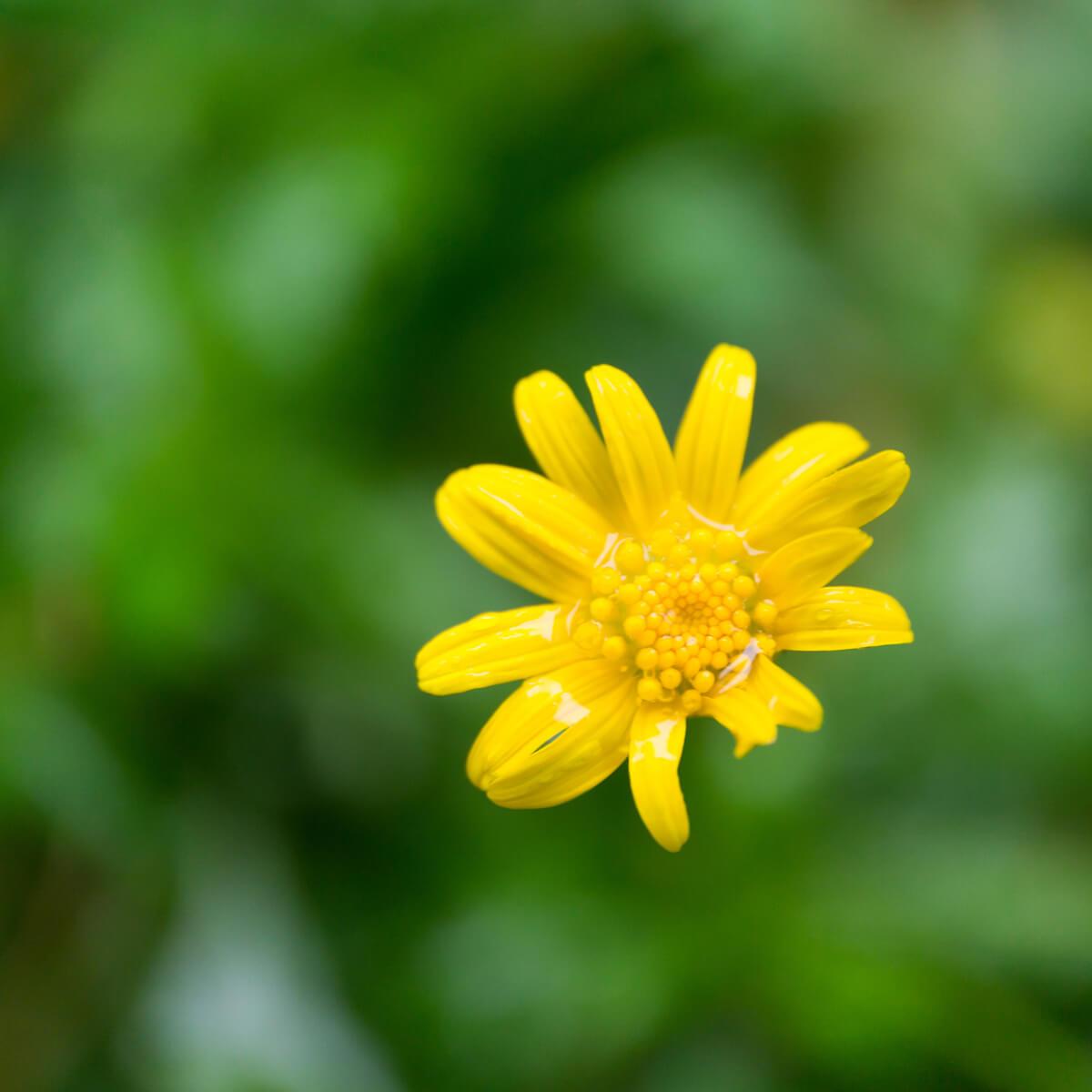 屋久島の花 雨のしずく 屋久島花とジュエリー オーダーメイドマリッジリングのインスピレーション