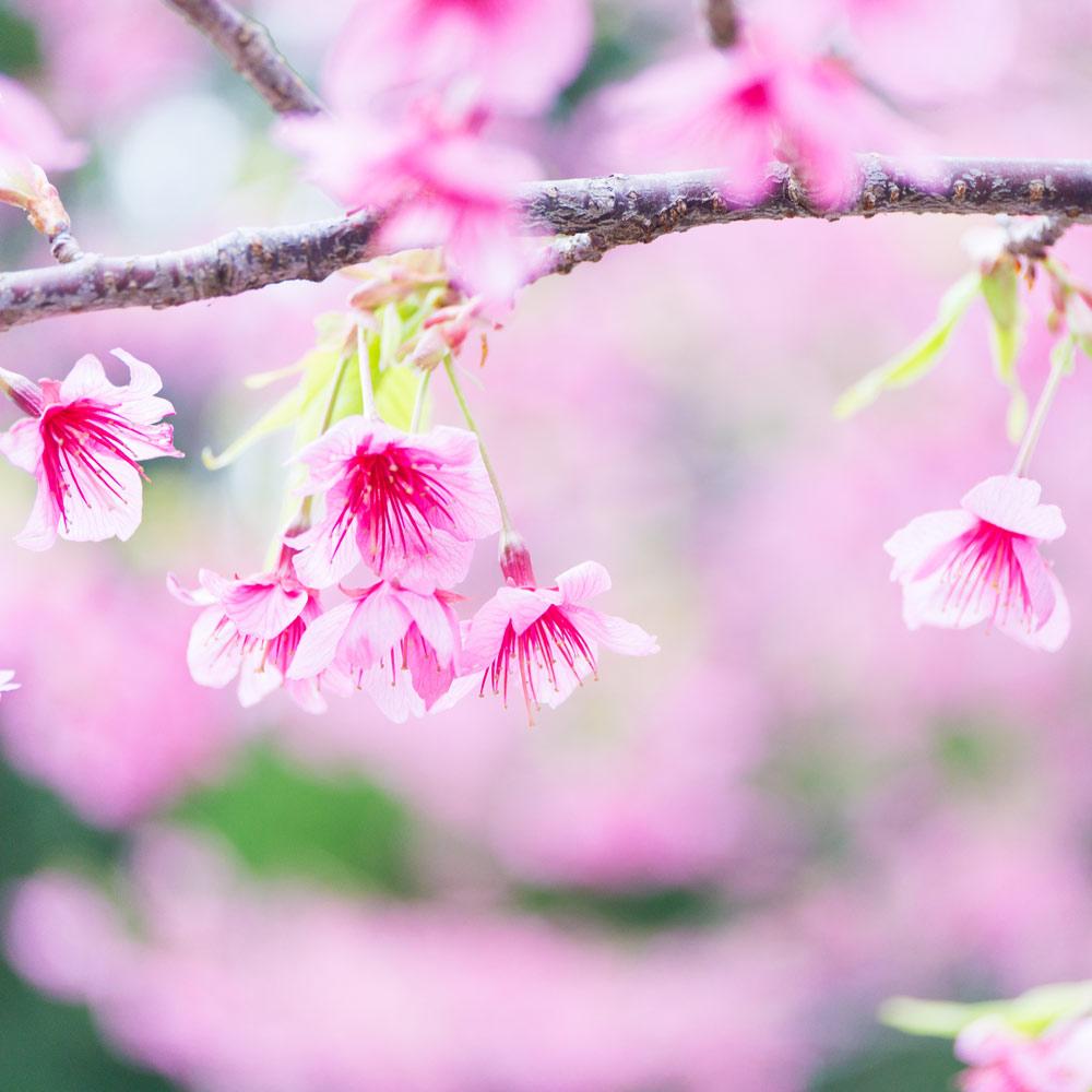屋久島の桜 クローズアップ 屋久島花とジュエリー