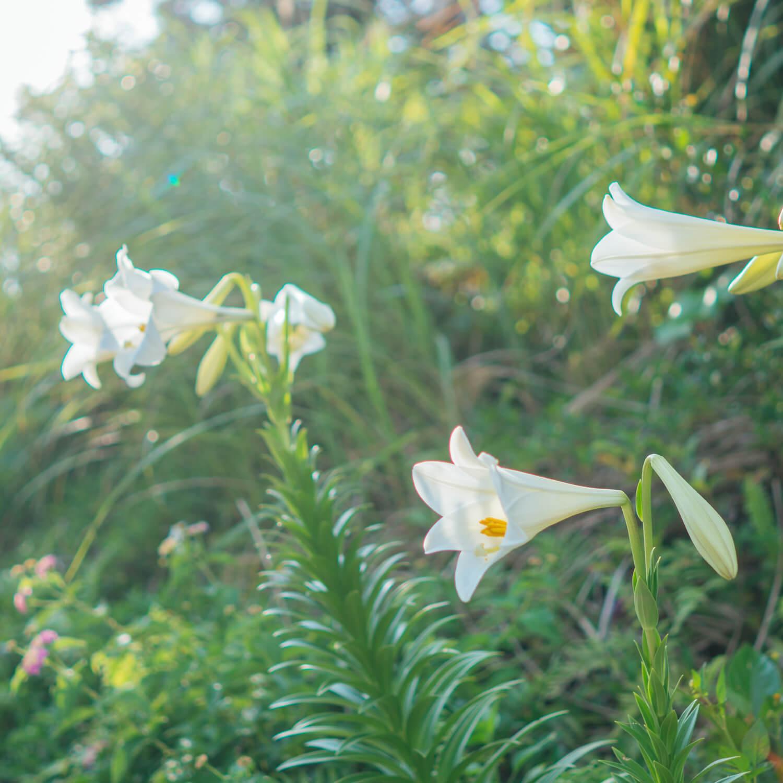 屋久島百合の花 屋久島花とジュエリー オーダーメイドジュエリーのモチーフ