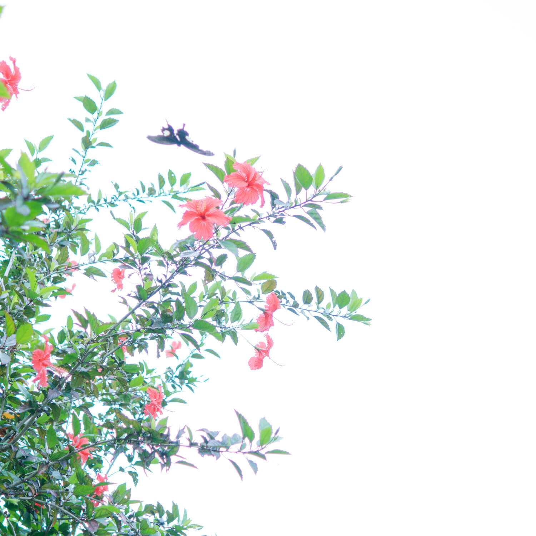 屋久島のチョウチョ、ハイビスカス 屋久島日々の暮らしとジュエリー オーダーメイドマリッジリングのモチーフ 屋久島でつくる結婚指輪