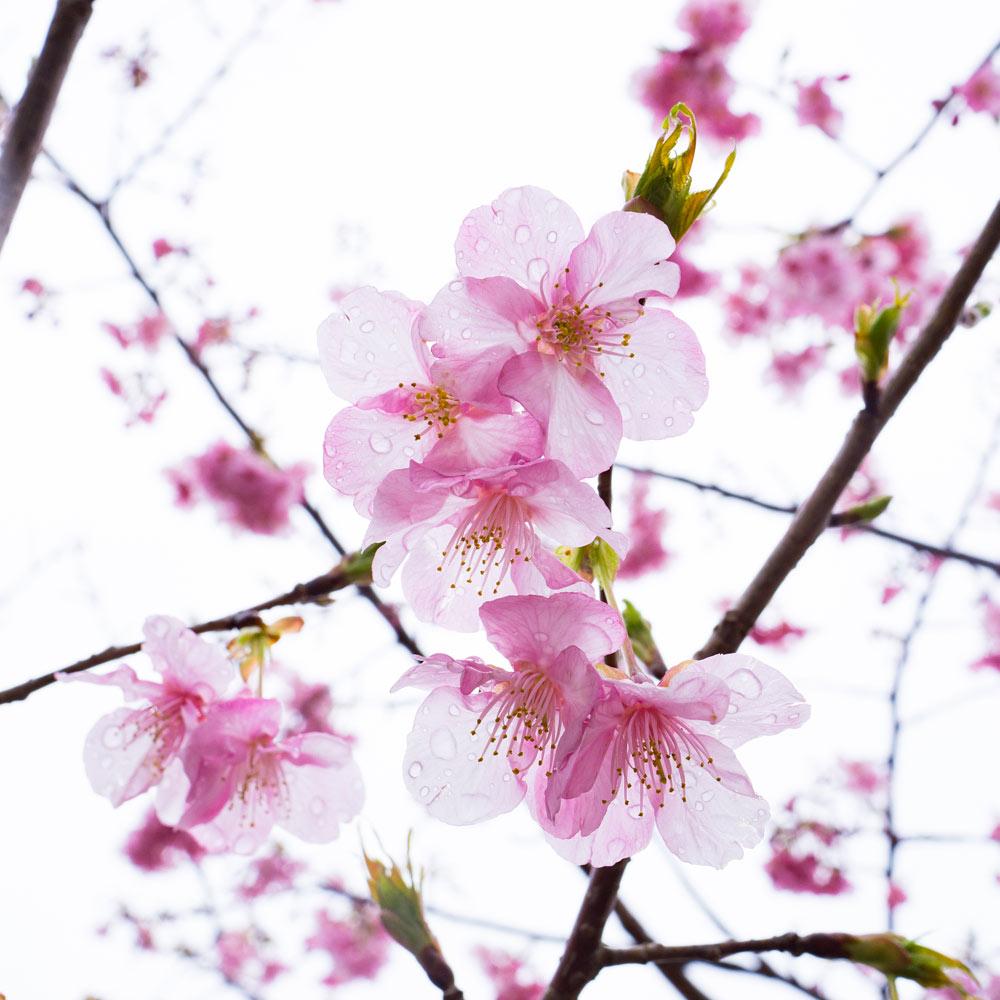 屋久島の桜 雨の雫 屋久島花とジュエリーと オーダメイドジュエリーのモチーフ