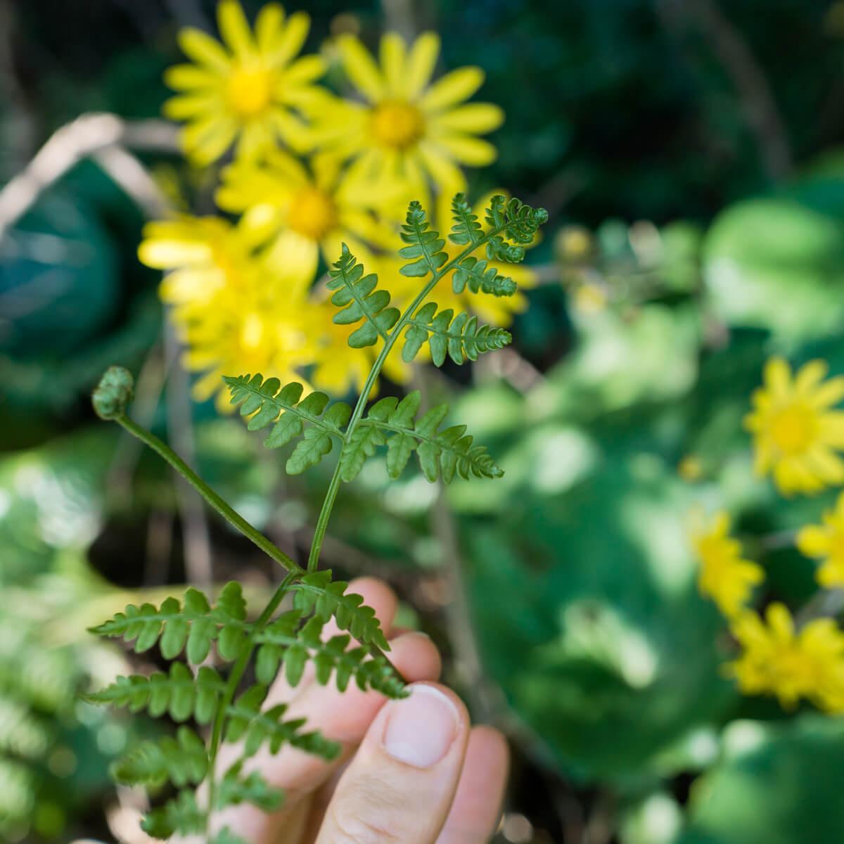 屋久島のシダの葉っぱ 手に持って ツワブキの花バック 屋久島花とジュエリー