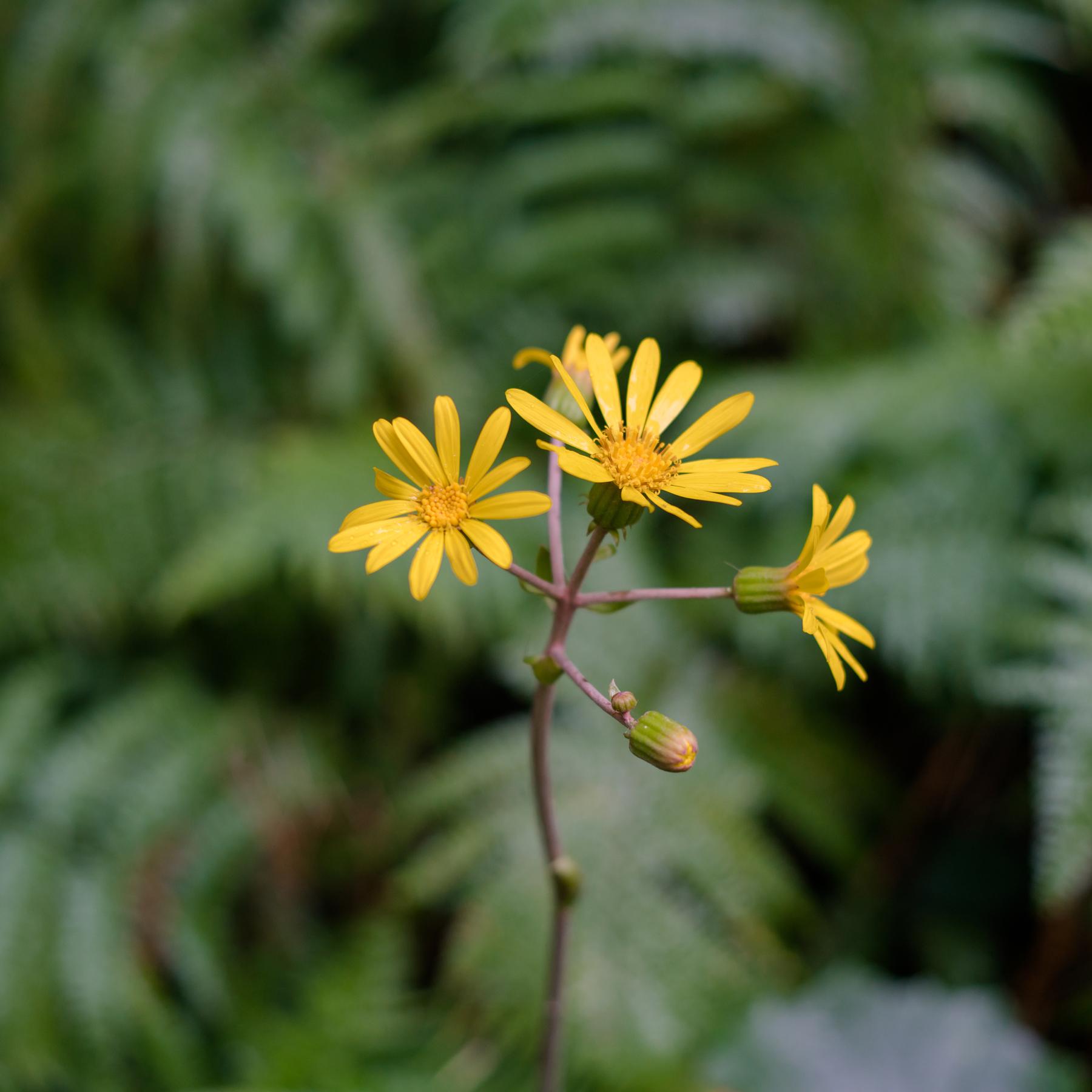 屋久島ツワブキの花、シダの群生 屋久島花とジュエリー オーダーメイドマリッジリングのモチーフ