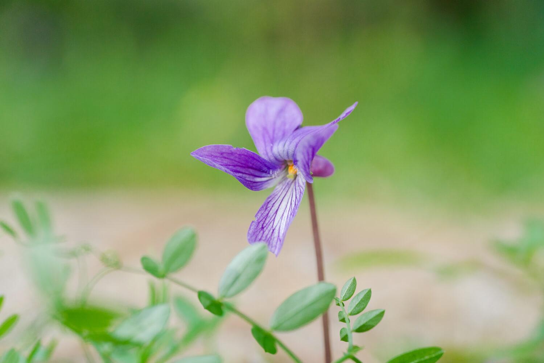 屋久島サウス、アトリエの庭でスミレ咲きました。 小さな喜びとともにジュエリーを作った日。