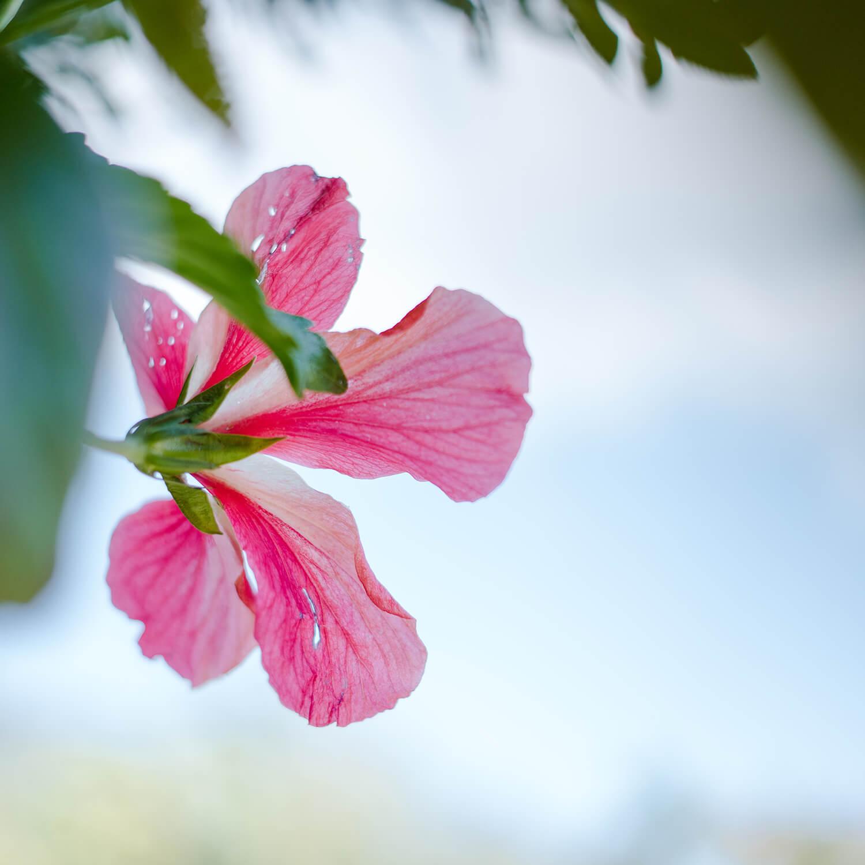 屋久島のハイビスカス、空、山々 屋久島花とジュエリー オーダーメイドマリッジリングのインスピレーション