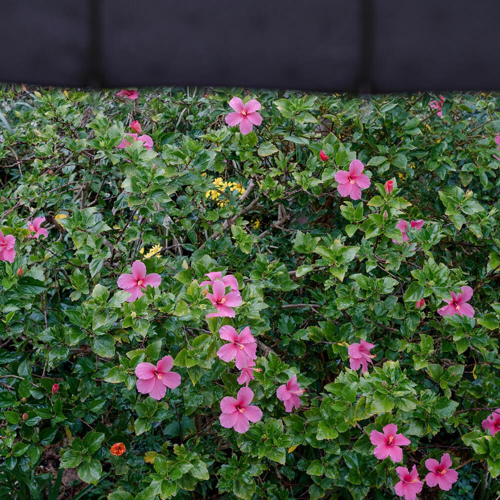 屋久島の雨、ハイビスカス カサ越し 屋久島花とジュエリー オーダーメイドマリッジリングのモチーフ