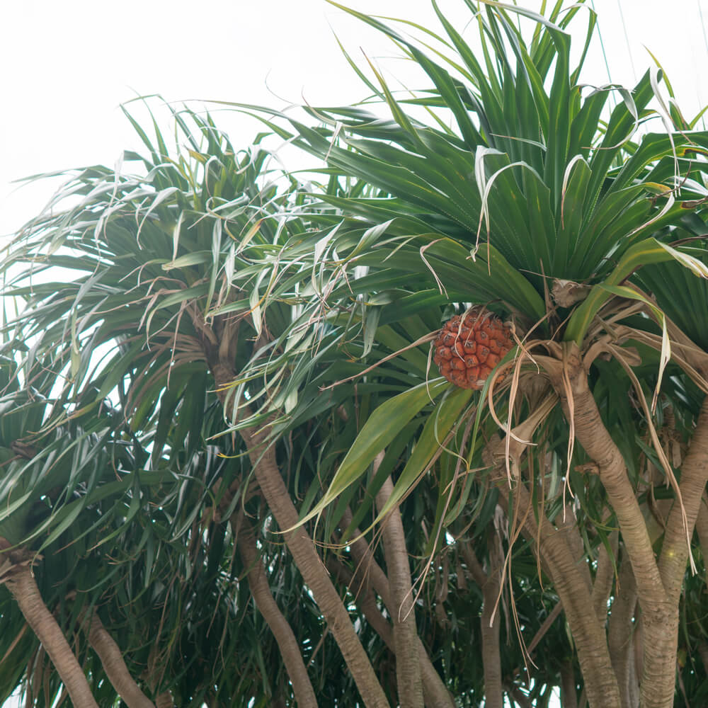 屋久島の植物、きのみ 見上げる 屋久島日々の暮らしとジュエリー オーダーメイドマリッジリングの製作中