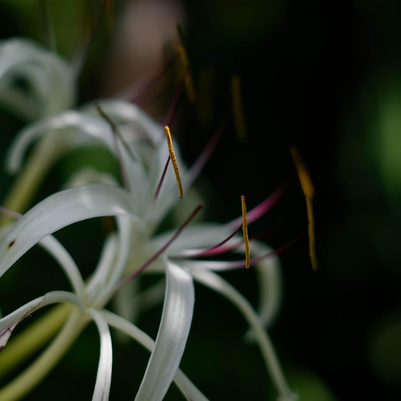 屋久島のハマユウ 屋久島花とジュエリー オーダーメイドマリッジリングのモチーフ 屋久島でつくる結婚指輪