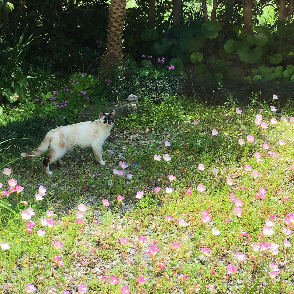 アトリエの庭 月見草と猫 屋久島日々の暮らしとジュエリー