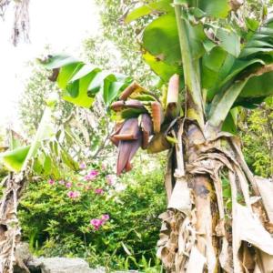 屋久島しずくギャラリー 隣の島バナナ